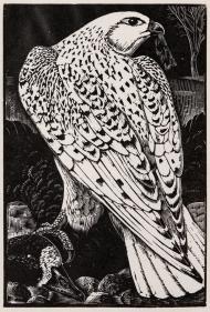 Tunnicliffe-Falcon