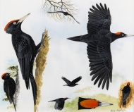 Hayman-Black-Woodpecker