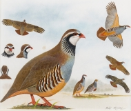 Hayman-Red-Legged-Partridge