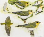 Hayman-Wood-Warbler