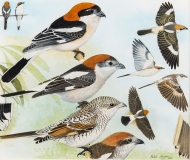 Hayman-Woodchat-Shrike
