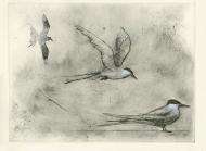 Arctic-Terns-(S)