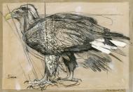 Sima,-White-Tailed-Sea-Eagle-(S)