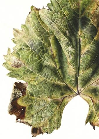 041120151206,-Vitis-vinifera,-Watercolour-on-paper,-76-x-56cm