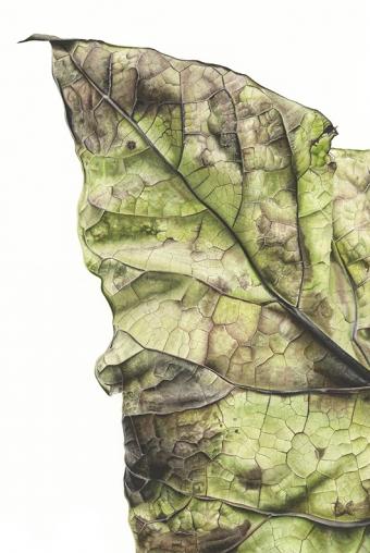 300720150946-Catalpa-bignonioides-Watercolour-on-paper-76-x-56cm