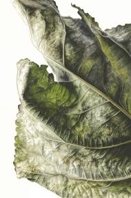 041120151155,-Populus-x-canadensis,-Watercolour-on-paper,-76-x-56cm