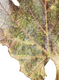 041120151204,-Vitis-vinifera,-Watercolour-on-paper,-76-x-56cm