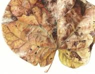 041120151210,-Cercis-siliquastrum,-Watercolour-on-paper,-56-x-76cm