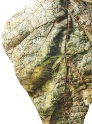 071120151031,-Catalpa-bignonioides,-Watercolour-on-paper,-76-x-56cm