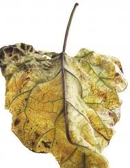100820151542,-Catalpa-bignonioides,-Watercolour-on-paper,-76-x-56cm