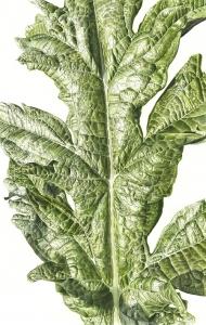 181120141339,-Cynara-cardunculus-var.-scolymus,-Watercolour-on-paper,-76-x-56cm