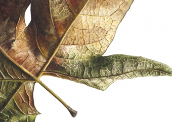 080720161710,-Platanus-x-acerifolia-Watercolour-on-paper-13-x-19-cm