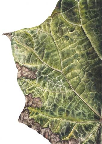 180820150949-Catalpa-bignonioides,-Watercolour-on-paper-19-x-13-cm