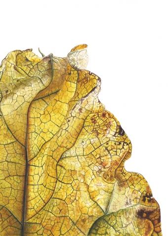 180820151540,-Catalpa-bignonioides,-Watercolour-on-paper-19-x-13-cm