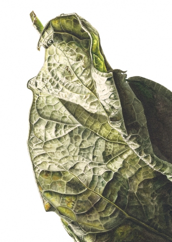 180820161420,-Catalpa-bignonioides,-Watercolour-on-paper,-13-x-19-cm