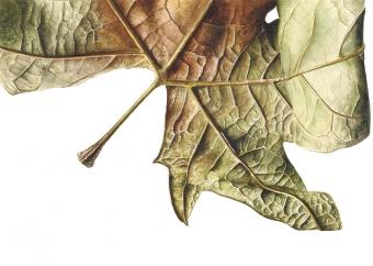 211020151410,-Platanus-x-acerifolia-Watercolour-on-paper,-13-x-19-cm