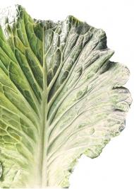 030320161305,-Brassica-oleracea,-Watercolour-on-paper,-19-x-13-cm