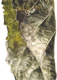 040420161613,-Morus-nigra,-Watercolour-on-paper,-19-x-13-cm