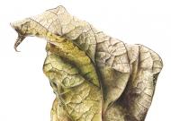 041220151708,-Catalpa-bignonioides,-Watercolour-on-paper,-13-x-19cm