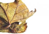 080120161241,-Platanus-x-acerifolia-Watercolour-on-paper-13-x-19-cm