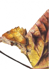 080120161247-Platanus-x-acerifolia-Watercolour-on-paper-19-x-13-cm