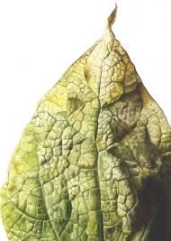 0807201681555,-Catalpa-bignonioides,-Watercolour-on-paper,-19-x-13-cm