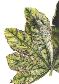190320161849,-Malva-sp,-Watercolour-on-paper,-13--x-19-cm