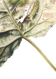 301020151949,-Populus-x-Canadensis,-Watercolour-on-paper,-19-x-13-cm