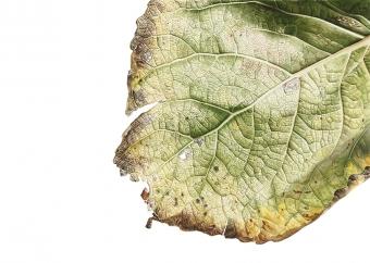 201020151203,-Populus-x-Canadensis,-Watercolour-on-paper,-90-x-120-cm