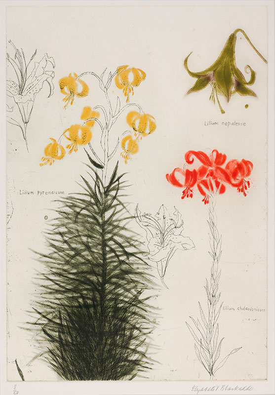 BLACKADDER Dame Elizabeth R.A. R.S.A. (b.1931) - Lilium Nepalense, Pyrendicum and Chalcedonicum.