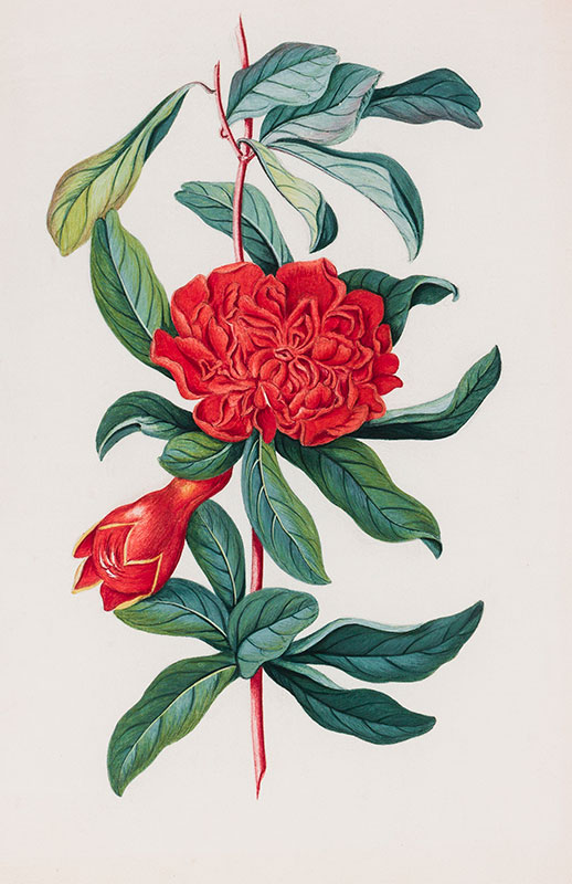 CONYERS Matilda (c.1698-1793) - 'A species of balsam'.