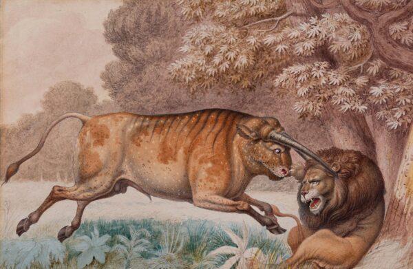 DANIELL Samuel (1775-1811) - 'Wild Bull attacking a Lion'.