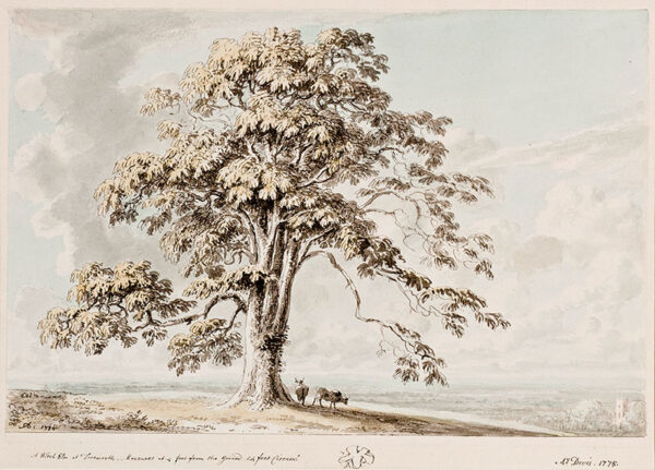 DEVIS Anthony (1729-1816) - Gloucestershire: 'A Witch Elm at Tortworth, measures at 4 feet from the ground 24 feet Circum:'.
