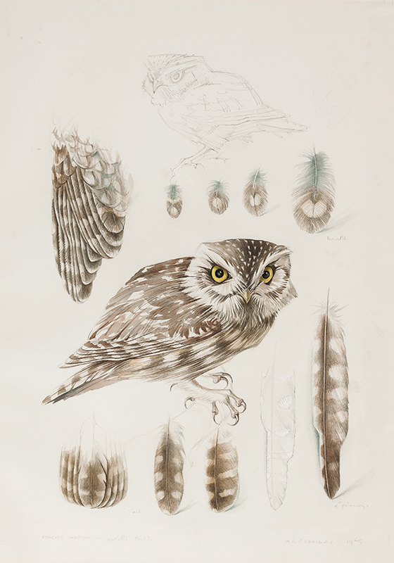 ELDRIDGE Mildred R.W.S. (1909-1991) - 'Little Owl'.