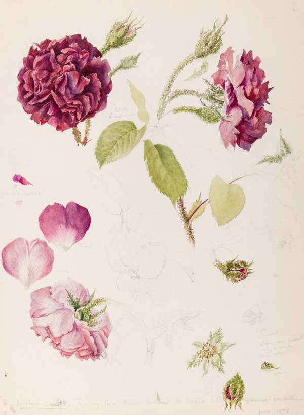 ELDRIDGE Mildred R.W.S. (1909-1991) - 'William Lobb (rose) Tyn y Parc, Rhin, hehind the house…' Pencil and watercolour.