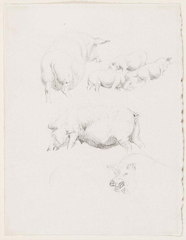 HILLS Robert P.O.W.S (1769-1844) - Studies of pigs.