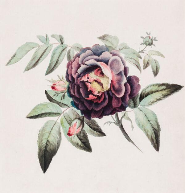 KEYS John (1798-1825) - A Shrub Rose.