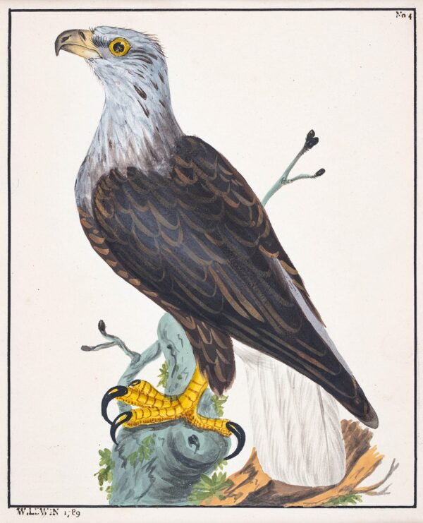 LEWIN William (1747-1795) and Sons (Thomas, Thomas William and John William) - Cinereous Eagle.