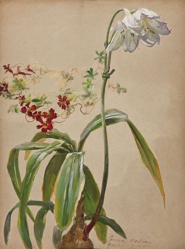 MUSSILL William (1828-1906) - 'Crinum Ornatum'.