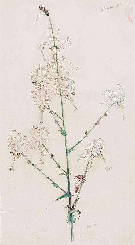 NASH John R.A. (1893-1977) - 'Michauxia Campanulaloides'.