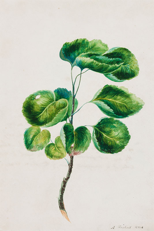 NICHOLL Andrew R.H.A. (1804-1886) - 'Branch of the Cup leaf Tree / Island of Ceylon / Oct.