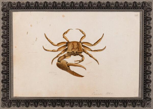 NODDER Richard P (fl.1786-1820) - Study of a crab.