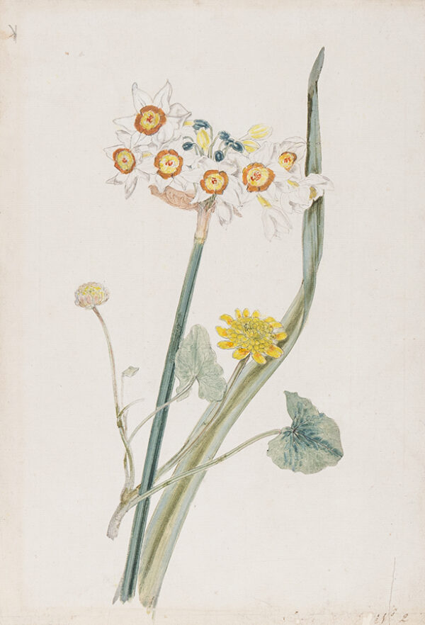 ROBINS the Elder, Thomas (1716-1770) - 'Narcissi'.