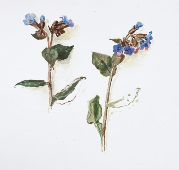 SERGEANT Carolyn (1937-2018) - A study of Forget-Me-Nots.