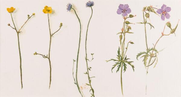SERGEANT Carolyn (b.1937) - Studies of field flowers.
