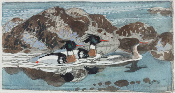 112. TUNNICLIFFE Charles Frederick R.A. (1901-1979) - Red-breasted Mergansers.