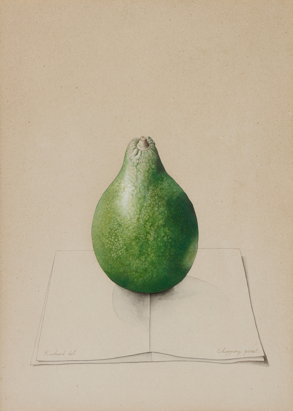 CHOPPING Richard (1917-2008) - 'Avocado Pear I'.