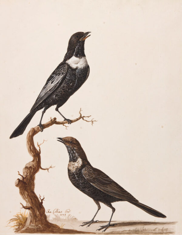 COLLINS Charles (c.1680-1744) - 'Ring Ouzels' Watercolour and gouache.