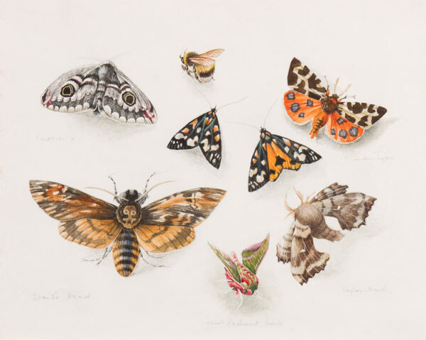 ELDRIDGE Mildred R.W.S. (1909-1991) - Studies of Moths.