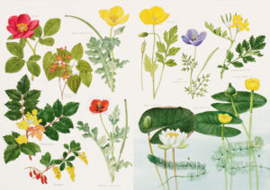GARRARD Ian (1927-1985) - Botanical watercolours painted to illustrate the reference book The Wild Flowers of the British Isles published with text by David Streeter (Macmillan, 1983)
